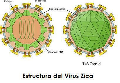 virus zica estructura